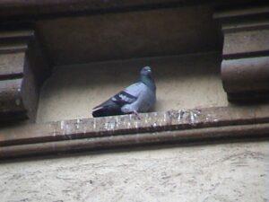 Pigeon sur façade dégradée